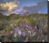 Opuntia cactus, Chisos Mountains, Big Bend National Park, Texas Stretched Canvas Print by Tim Fitzharris