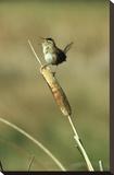 Marsh Wren singing while perching on a Common Cattail, Alberta, Canada Toile tendue sur châssis par Tim Fitzharris