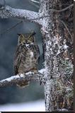 Great Horned Owl perched in tree dusted with snow, British Columbia, Canada Impressão em tela esticada por Tim Fitzharris