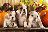 English Bulldogs and a Pumpkin Photographic Print by  Lilun