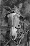 Mule. Hale County, Alabama Photographic Print