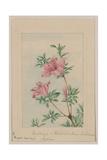 Tsutsuji Rhododendron Judicum - Azalea Giclee Print