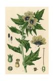 Plants, Hyoscyamus Niger Giclée-tryk