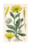 Plants, Arnica Montana Giclee Print