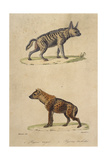 Striped and Spotted Hyena Giclee Print