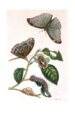 Butterfly Illustration by Maria Sibylla Merian Giclee Print