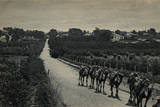 Camels and Orange Groves, Palestine Photographic Print
