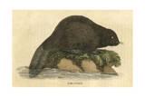 Beaver (1814) Giclee Print