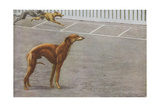 Whippets Giclee Print