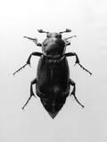 Burying Beetle Photographic Print