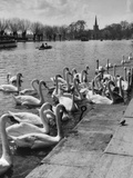 Swans on the River Avon Photographic Print