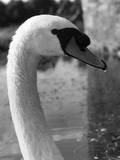 Cob Swan Head Photographic Print