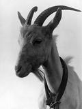 Goat Study Fotografisk tryk