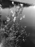 Meadowsweet Photographic Print