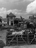 Thame Cattle Market Photographic Print