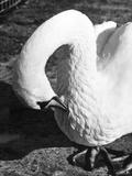 Preening Swan Photographic Print