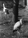 Painted and White Storks Photographic Print