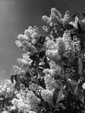 White Lilac Photographic Print