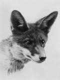 Fox Portrait Photographic Print