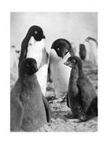 Adelie Penguins Giclee Print