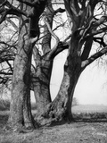 Beech Trees Photographic Print