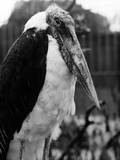 Adjutant Stork Photographic Print