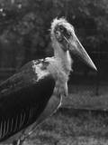 Marabou Stork Photographie