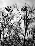 Wild Fennel Photographic Print