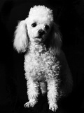 Poodle Photographic Print