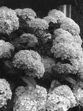 Hydrangea Blooms Photographic Print