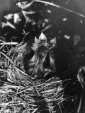 Birds, Hedge Sparrow Photographic Print