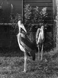 Marabou Storks Reproduction photographique