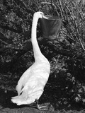 Swan Eating Photographic Print