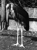 Marabou Stork Photographic Print