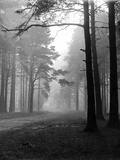 Mist in the Pinewoods Photographic Print