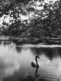 Solitary Swan Impressão fotográfica