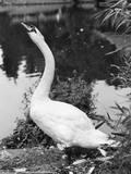 Swan Stretching its Neck Impressão fotográfica