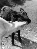 Kissing Calves Photographic Print