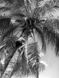 Picking Coconuts Photographic Print