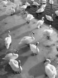 Frozen Swans Photographic Print
