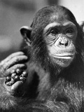 Study of a Chimpanzee Photographic Print