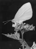 Cabbage White Butterfly Photographic Print