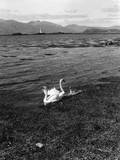 Swans and Cygnets Impressão fotográfica