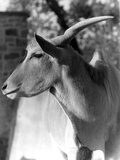 Head of an Eland Photographic Print