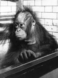 Pensive Orangutan Photographic Print