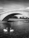Swans and Bridge Impressão fotográfica