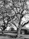 Walnut Trees Fotografická reprodukce
