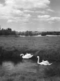 Swans on the River Nene Impressão fotográfica