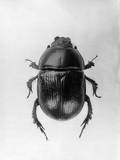 Dung Beetle Photographic Print