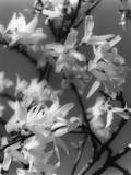 Plants, Forsythia Photographic Print